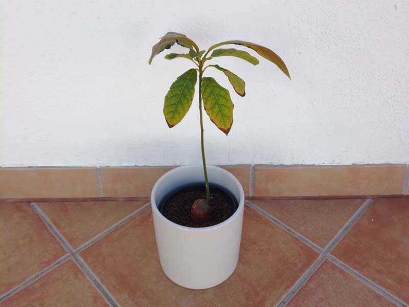Un bonsai da una pianta di avocado