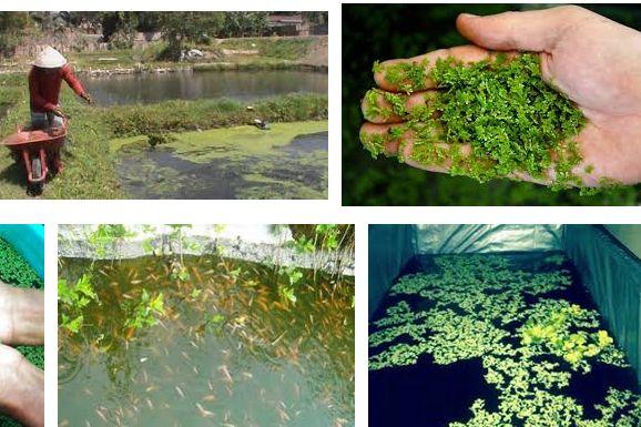 Pakan Alami Ikan Nila