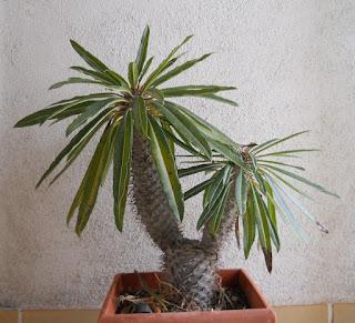 recuperacion del cactus Pachypodium lamerei