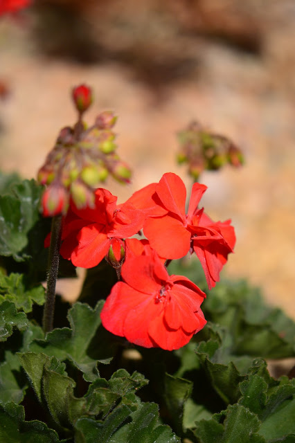 small sunny garden, amy myers, desert garden, garden bloggers bloom day, pelargonium