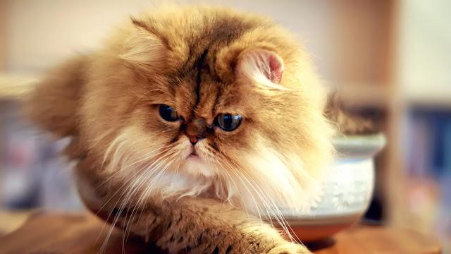 Flatnose Cat