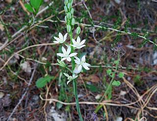 Leche de gallina (Ornithogalum pyrenaicum subs. narbonense) flor silvestre blanca