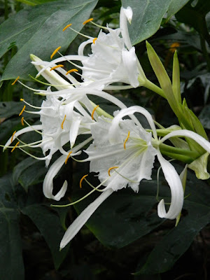 Spider lily Hymenocallis longipetala blooms at the Allan Gardens Conservatory by garden muses-not another Toronto gardening blog