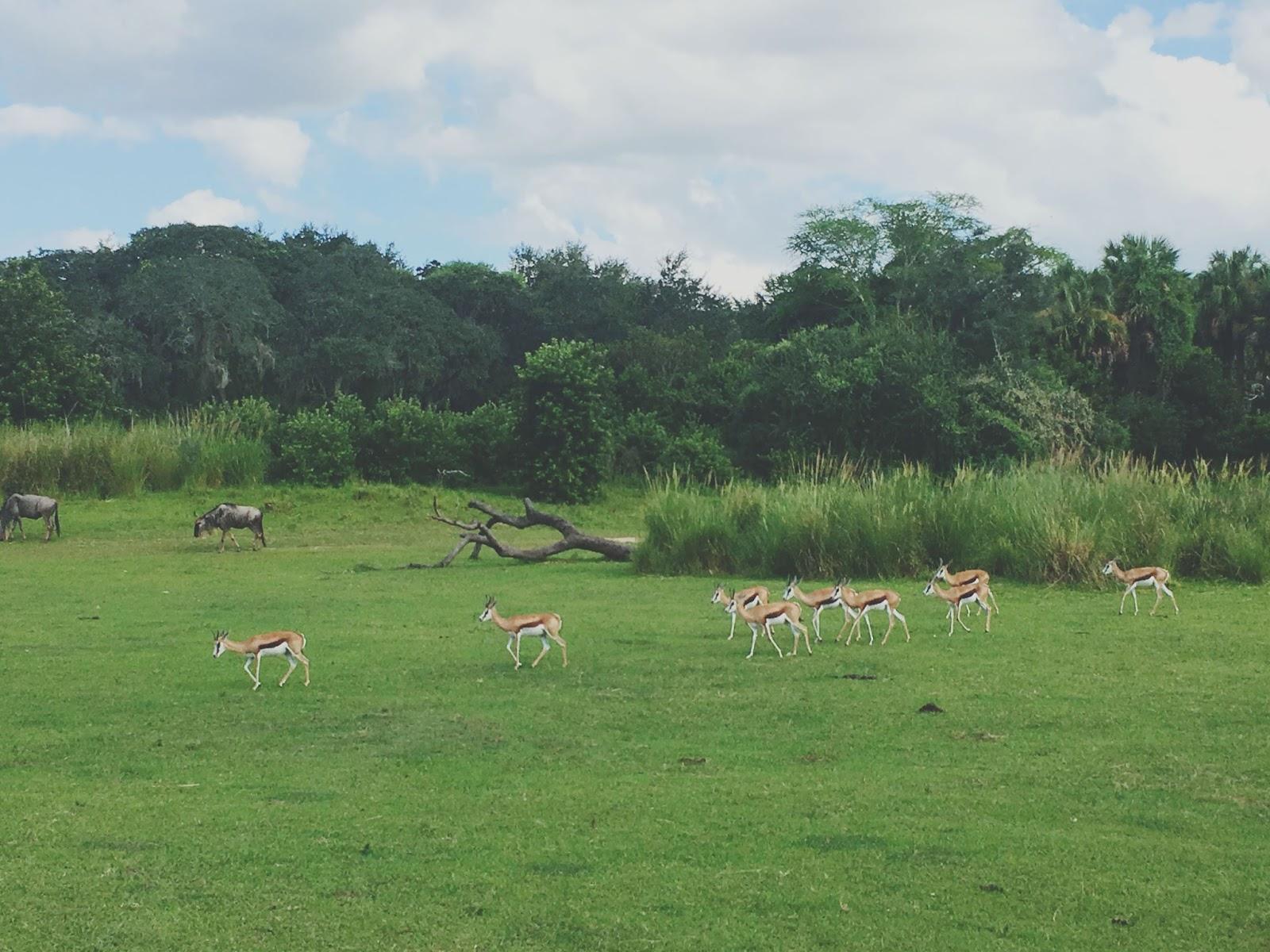 safari at Animal Kingdom in Disney World, Florida