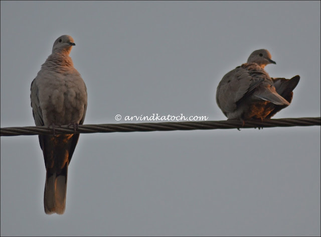 pair, collared dove,