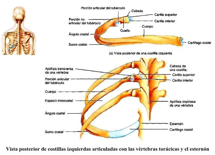 Anatomía del Tórax costillas