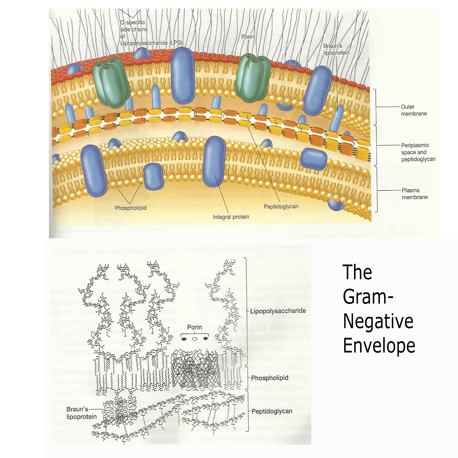 gram positive cell wall diagram 2009 hyundai sonata wiring sharemicro different structure
