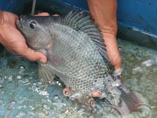pembesaran ikan nila