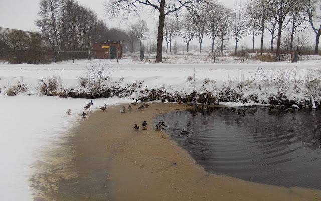 Mooie winter foto met eenden die een wak openhouden van een sloot in de winter