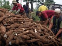 Inilah Nilai Ekspor Singkong Indonesia