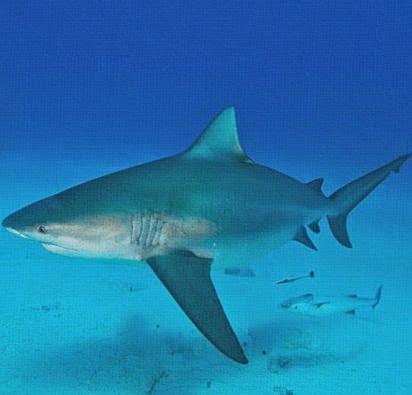 Fakta Menarik Tentang Hiu Sang Predator Laut 5 Fakta Menarik Tentang Hiu Sang Predator Laut