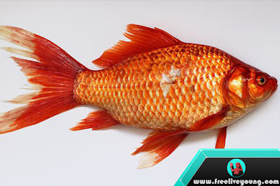 How to Tell if Your Goldfish Is a Male or Female