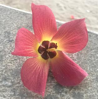 flower, hau, Hibiscus tiliaceus