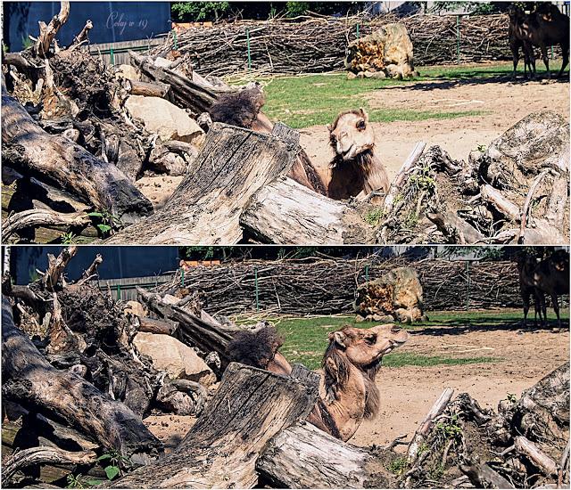 Kolaż zdjęć z wielbłądem