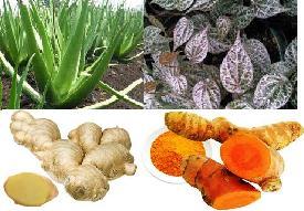 Image 10 Tumbuhan herbal untuk mengobati gatal gatal