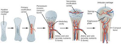 Proses Pembentukan Tulang (osifikasi)