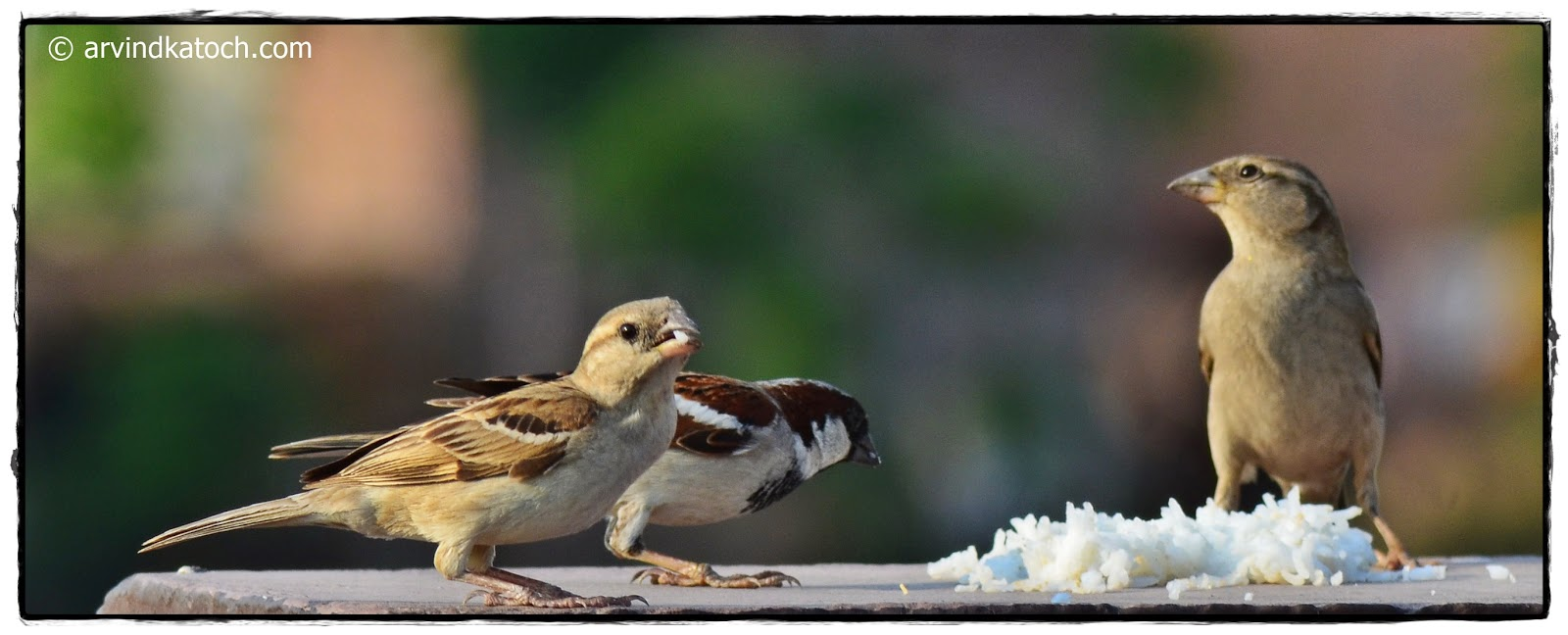 Group, House Sparrow,