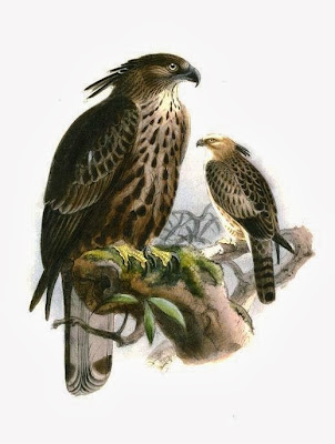 Águila azor variable Nisaetus cirrhatus