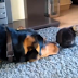 This mother asks the beloved dog to show them the cat. At 1:31 I died laughing!