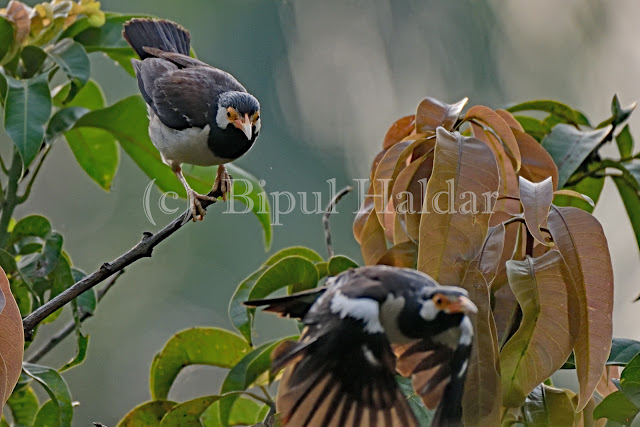 Pied Myna in the Flight