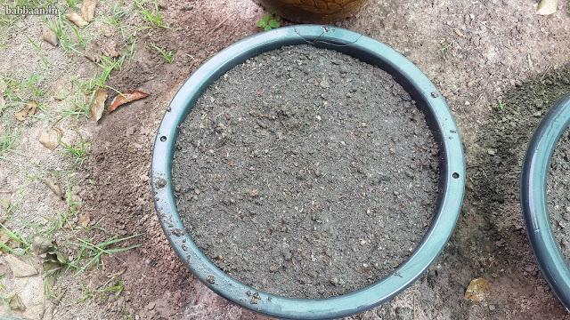 วิธีปลูกผักกาดเขียว