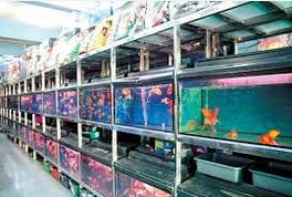 Jenis Jenis Ikan Hias Dan Harganya Di Pasaran Indonesia