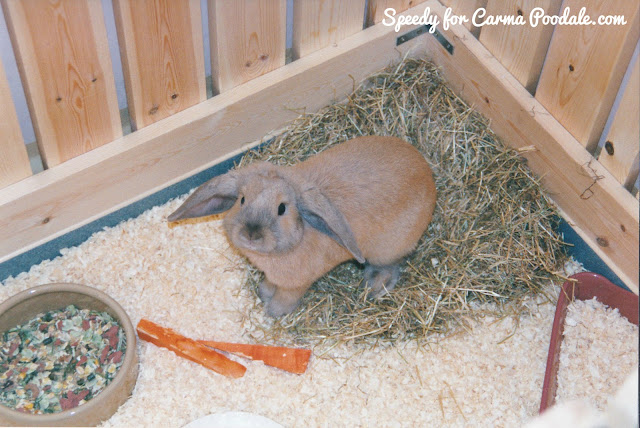Caramel colored Holland Lop rabbit looking up- http://www.speedyhousebunny.com/