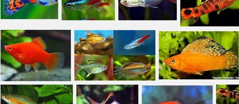 Jenis Ikan Hias Kecil yang Unik dan Cantik serta Mudah Dipelihara