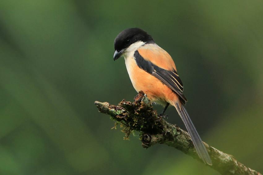 Ciri Ciri Umum Burung Cendet Jantan