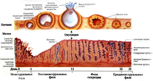est-li-v-sekretsii-spermatozoidi