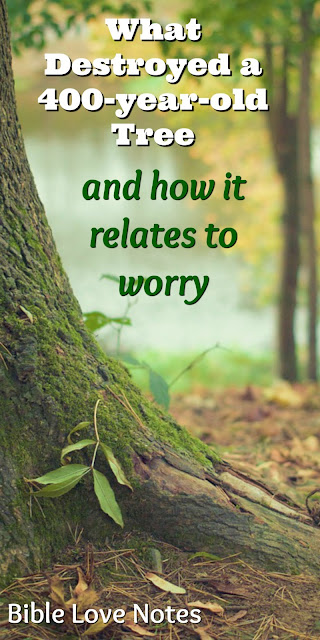 Something tiny and seemingly insignificant destroyed this 400-year-old tree. It's a good analogy for worry. This 1-minute devotion explains. #BibleLoveNotes #Bible
