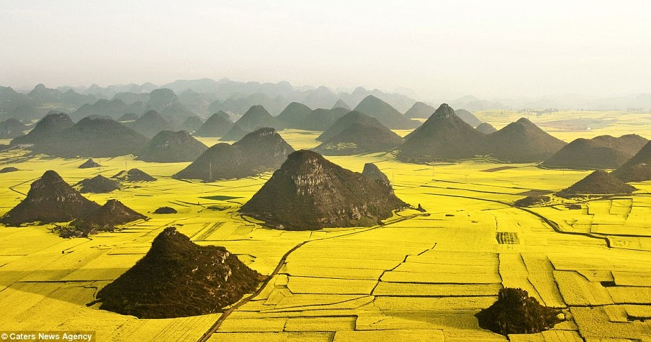 Pemandangan Lautan Bunga Kuning Di China