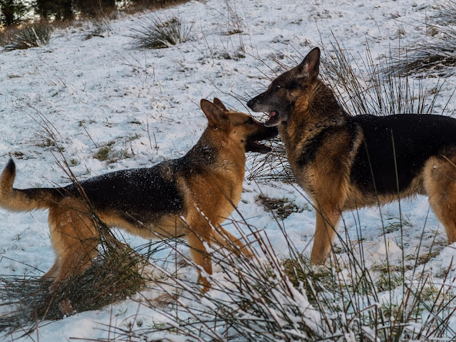 A female and male German shepherd facing each other and playing in the snow on a mountain.