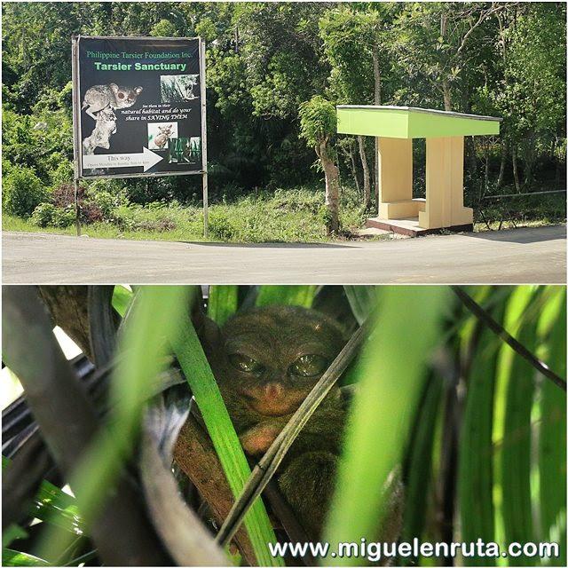 Carlito-primate-tarsier-Bohol-Filipinas
