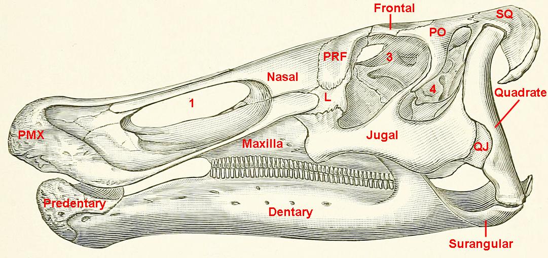 Dinosaur Skull Diagram Labeled Schematics Wiring Diagrams