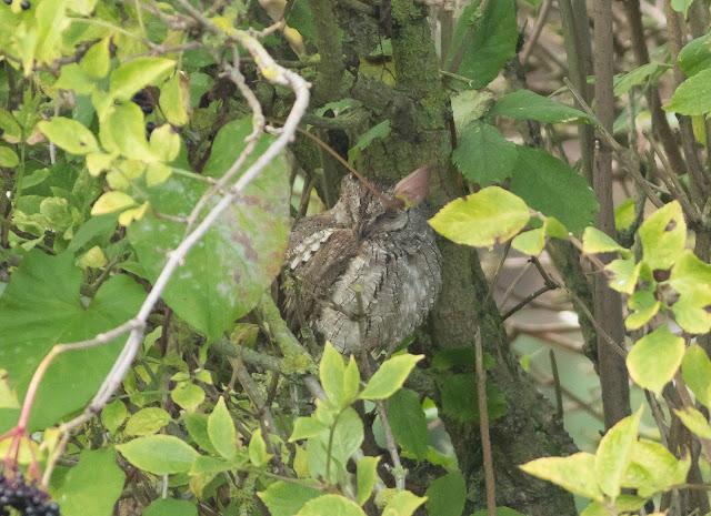 Scops Owl - Durham