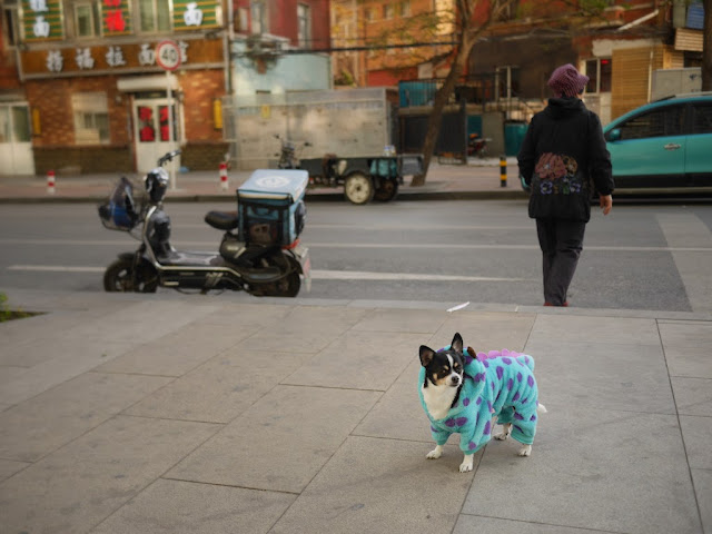 small dog wearing a polkadot dinosaur outfit in Dalian, China