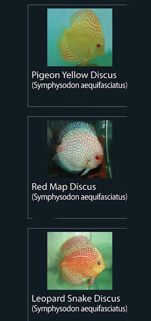 21. Pigeon Yellow Discus  Nama Latin Symphysodon aequifasciatus  22. Red Map Discus  Nama Latin Symphysodon aequifasciatus  23. Leopard Snake Discus  Nama Latin Symphysodon aequifasciatus