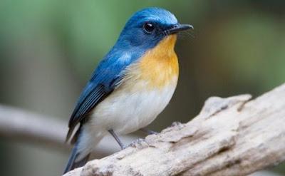 2 Tips Akurat Memilih Burung Tledekan Gunung Yang Bagus