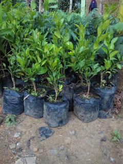 Mengapa Pohon Jeruk Susah Berbuah?