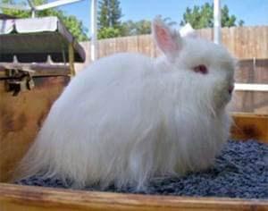 gambar kelinci jersey wooly