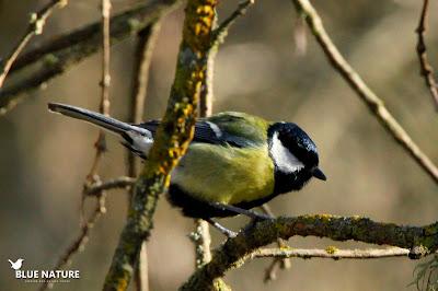 Macho de carbonero común (Parus major). Esta especie viste un plumaje amarillo en todo el vientre. Tanto machos como hembras lo adornan con una corbata negra que sale desde la garganta y baja hacia las patas. En los machos dicha corbata es bastante ancha y alcanza la cloaca, como en este caso.