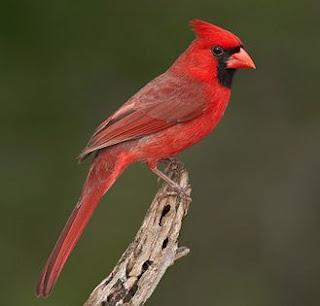 Suara burung northern cardinal,gacor (untuk masteran)