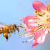 ZPP Meio Ambiente: Por que desaparecimento das abelhas seria uma catástrofe?