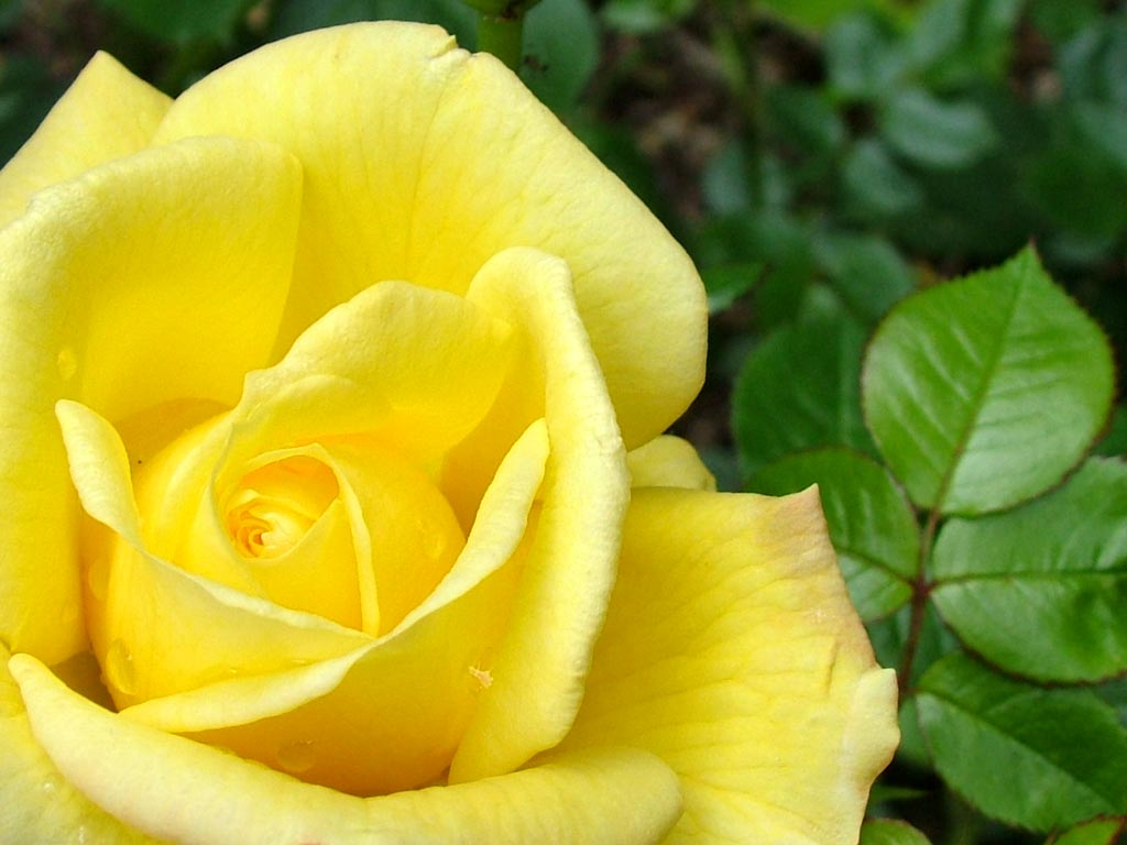 Romantic flowers yellow rose flower yellow roses have a shorter albeit no less fascinating history than other roses it wasnt until around the 18th century that yellow roses were discovered mightylinksfo
