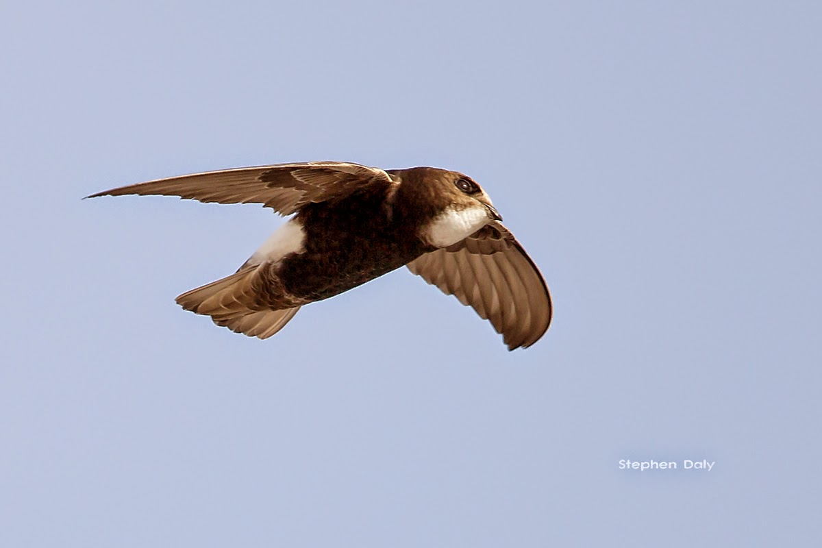 Little Swifts, Chipiona, Cadiz province, Spain