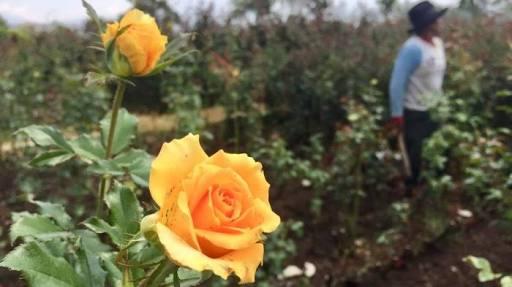 Wisata petik mawar Dusun perahu Tribunnews
