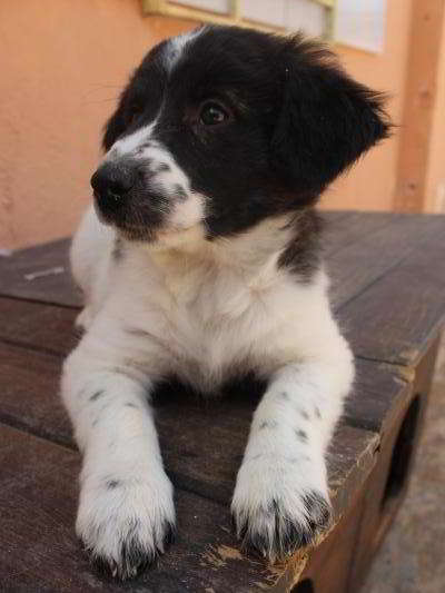 cachorra mestizo border collie