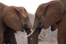 pasangan gajah