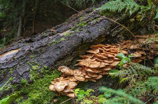 Honey Mushroon growing out from under a log on the forest floor